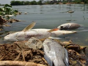 SPDC Dangerous Chemicals: Odimodi makes case, says fishes are dying massively – The Liberator